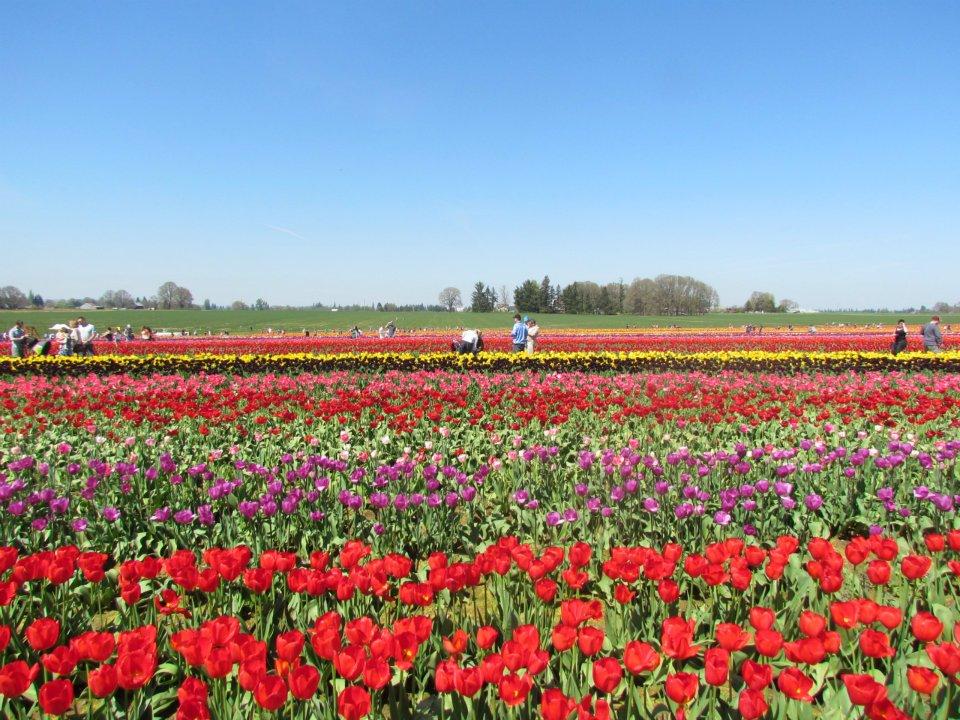 Lễ hội hoa Tulip – tháng 4&5