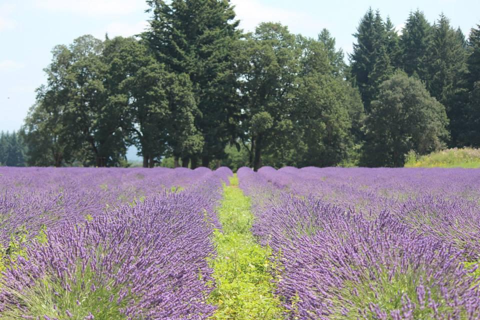 Mùa hoa Lavender – tháng 7