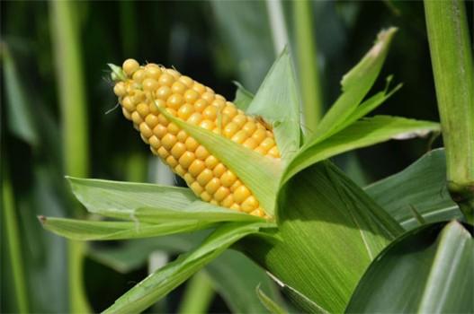 Kỳ 3: GMO – Bài học nào cho người tiêu dùng Việt Nam?